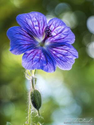 Pelargonie Blüte