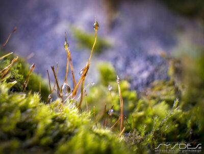 Makroaufnahme von blühenden Moos mit Wassertropfen