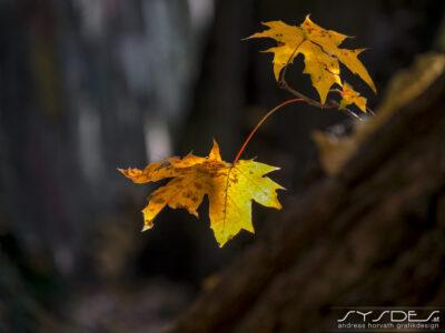 Zwei Hebrstblätter im Wald