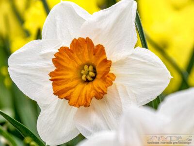 Weiss-Orange Narzissenblüte