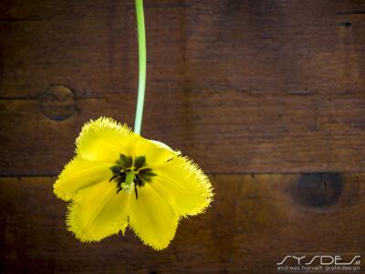 Gelbe Blüte vor Holzzaun